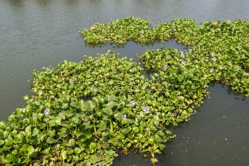 Waterhyacint, het binnenvallen species in Kochi, India stock afbeelding