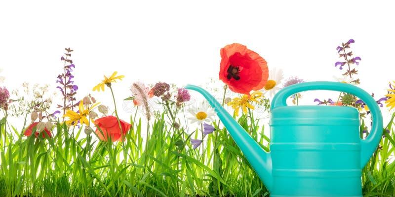 Waterin può davanti ad un prato del wildflower, fondo bianco, p fotografia stock libera da diritti
