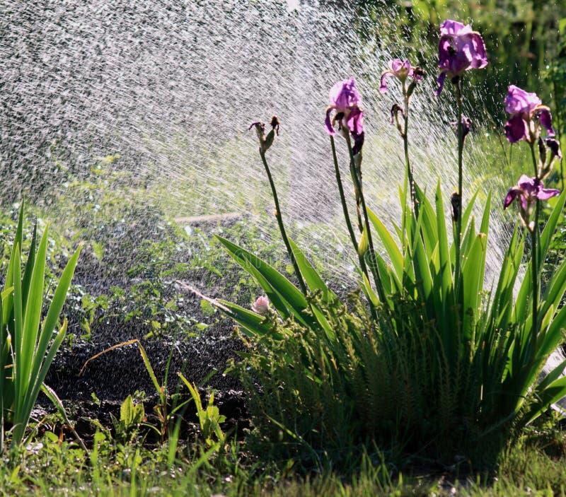 Download Watering stock photo. Image of sprinklers, vegetation - 9734074
