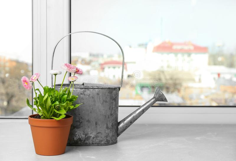 Watering can and beautiful blooming daisies in pot on window sill. Spring flowers royalty free stock photography