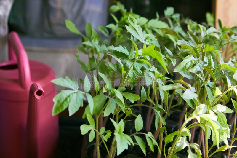 Watering can at farm greenhouse. Tomato seedlings stock photography