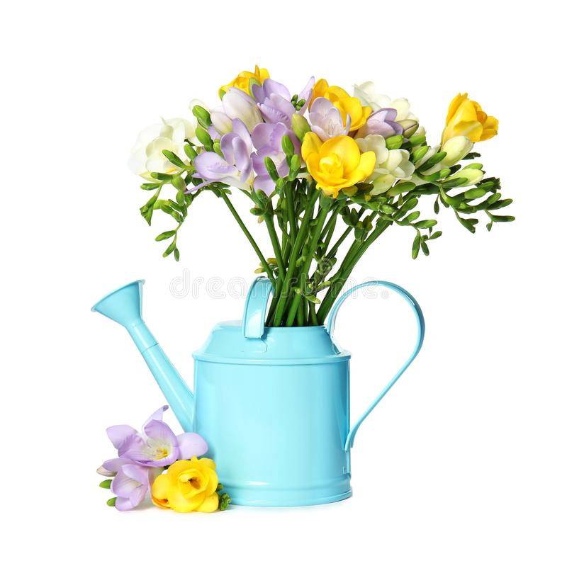 Watering can with fresh freesia flowers isolated. On white royalty free stock image