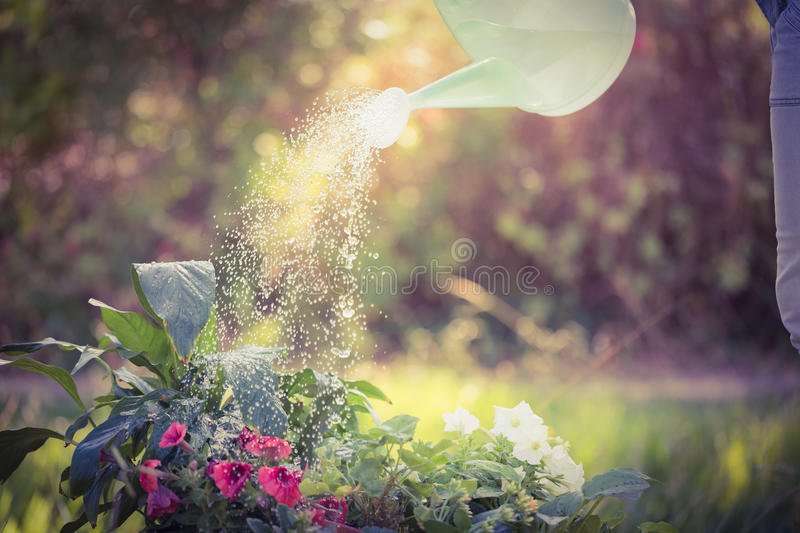 Watering can pouring water over flowers. On a sunny day royalty free stock photography