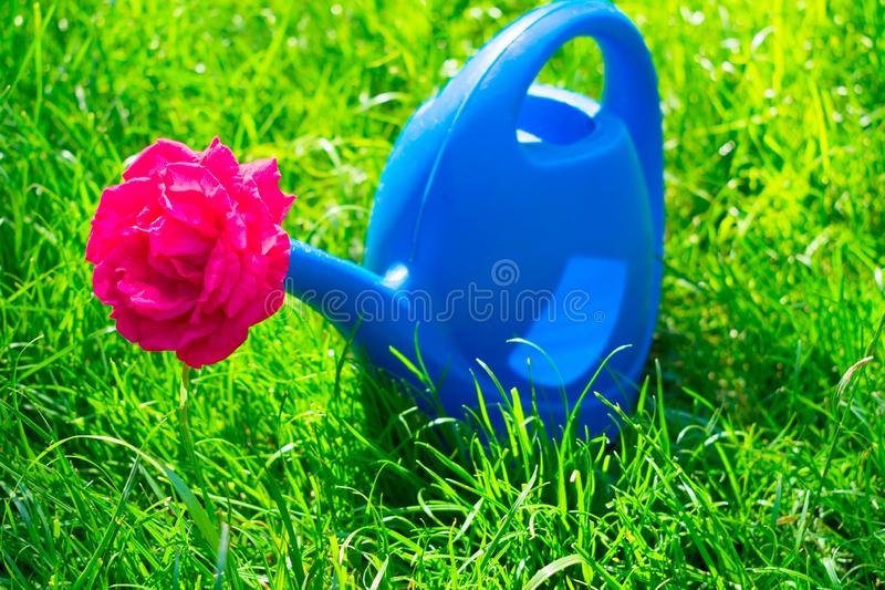 Watering can for watering flowers and a red rose in it, on the selenium grass. Blue watering can for watering flowers and a red rose in it, on the selenium stock photography