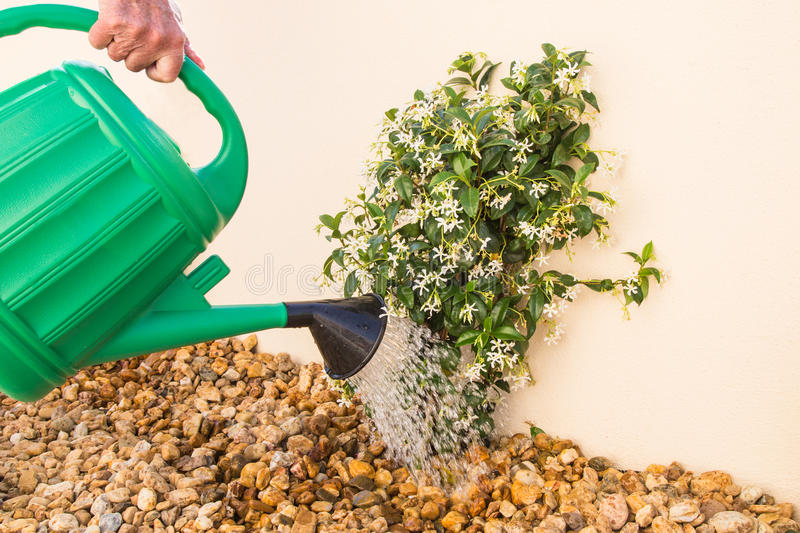 Watering can watering a young Jasmine plant. stock images