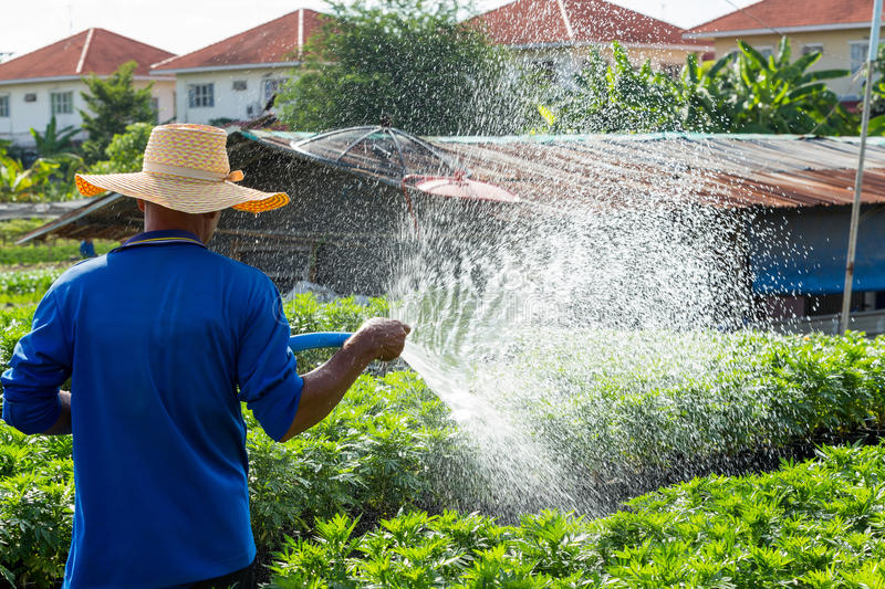 Watering. Close up farmer watering plant via plastic hose stock images