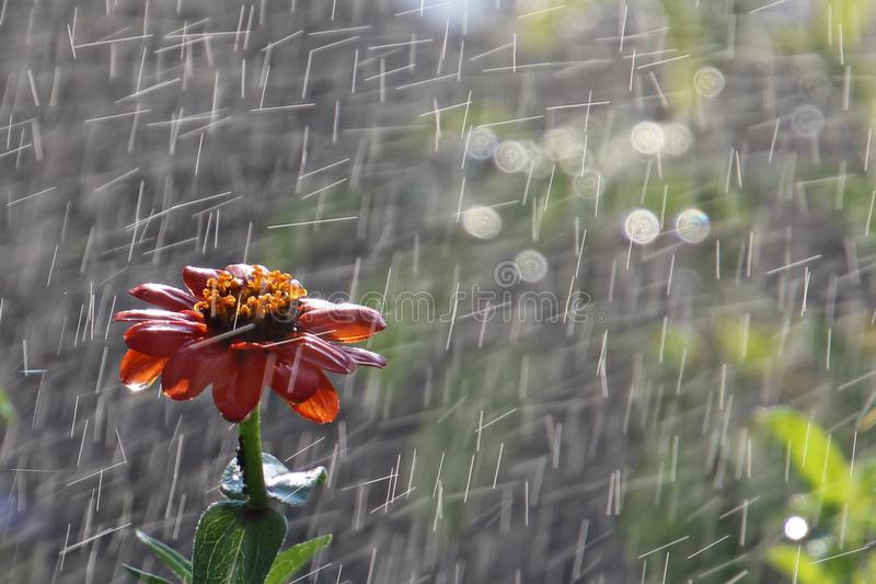 During watering the Cone flower royalty free stock images