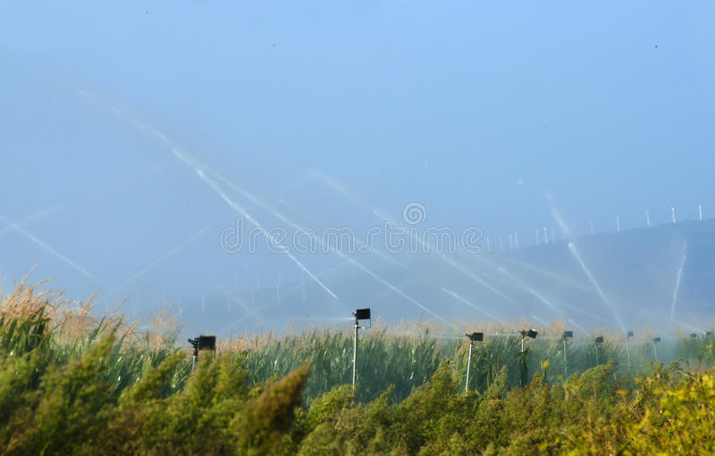 Watering The Corn Plantation Stock Image