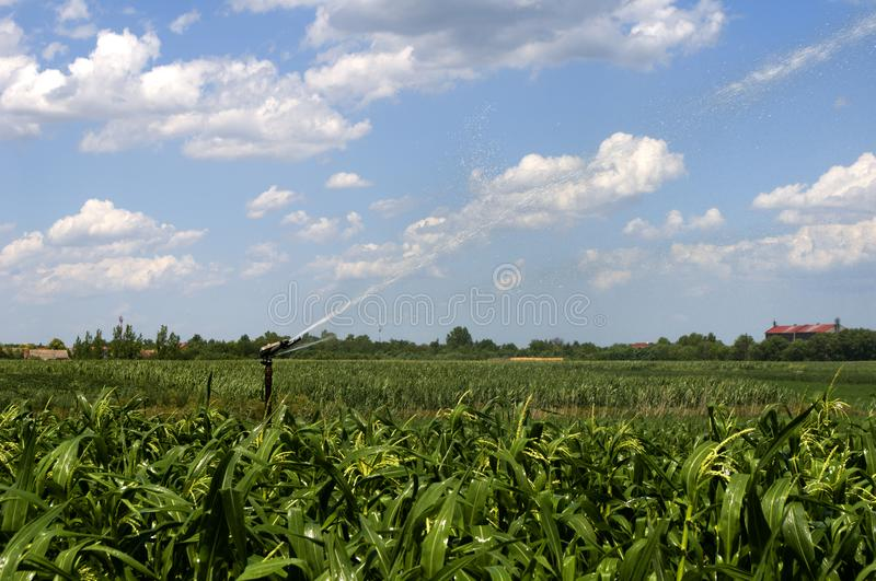 Watering corn with water cannon stock photo