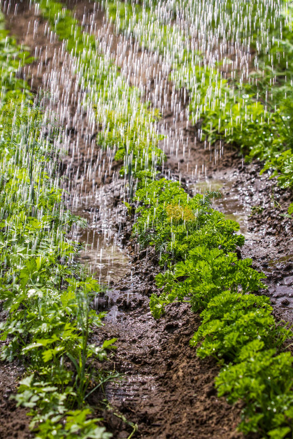 Watering of cultivated fertile land royalty free stock photo