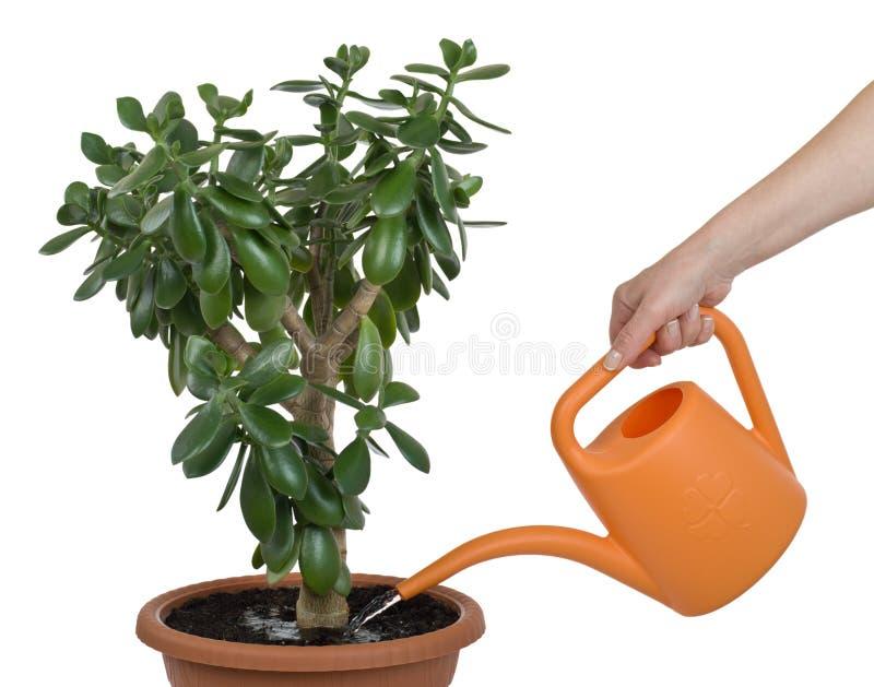 Watering dollar plant cutout royalty free stock image