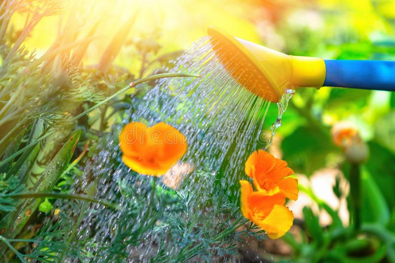 Watering flowers in a flower bed from a watering can. The concept of gardening and plant care. Close up and sunlight.  royalty free stock photography