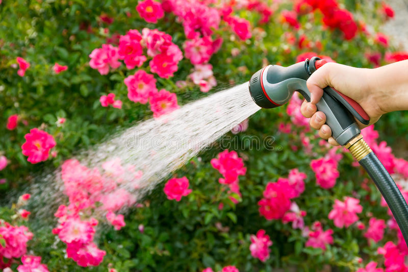 Watering flowers. In summer using hose stock photo