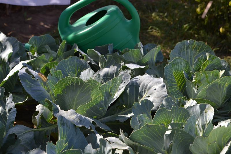 Watering green cabbage leafs stock photo