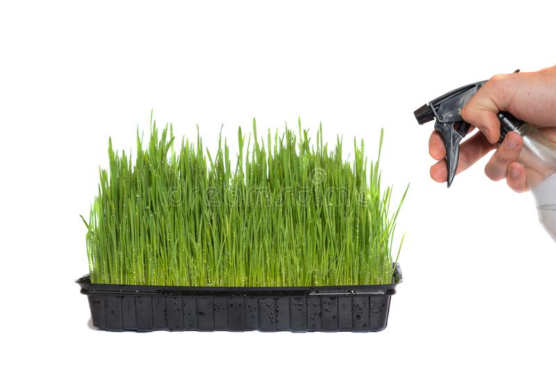 Watering wheat germs with water from a sprinkler. Watering green wheat germs in a black container with water from a spray bottle royalty free stock photo