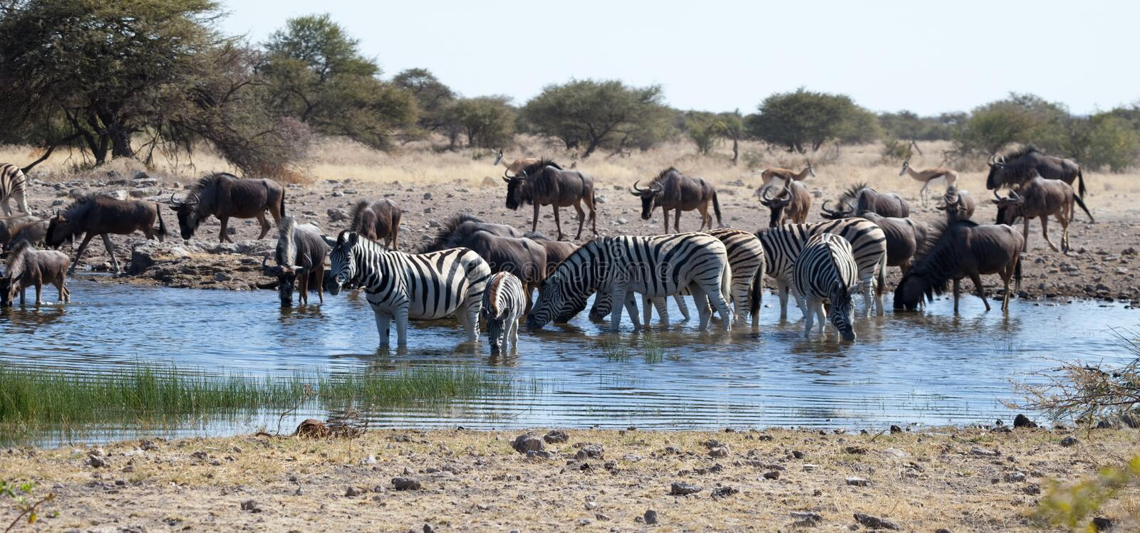 Download Watering Hole stock image. Image of mammals, bush, river - 12813577