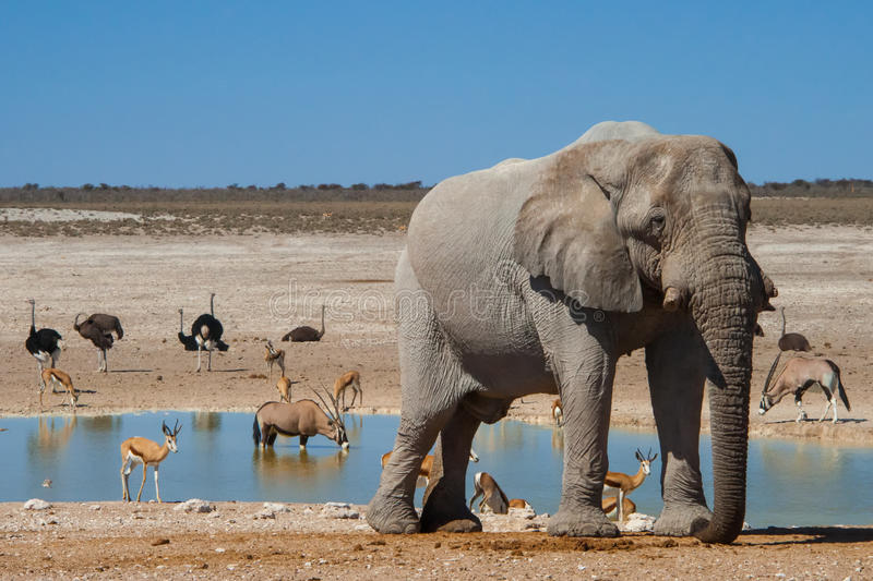 Watering hole, Etosha National Park, Namibia. A variety of animals, including elephant, oryx, Thompson`s gazelle, and ostrich brave the predators to reach the royalty free stock image