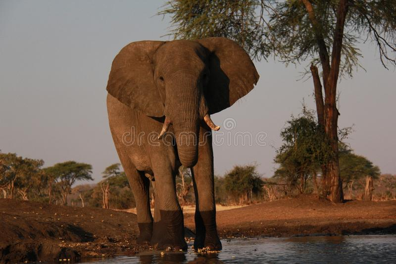 The Watering Hole. stock images