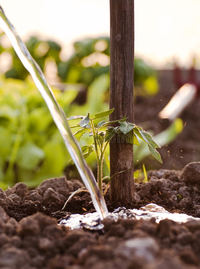 Download Watering a new plant stock image. Image of natural, organic - 19230425