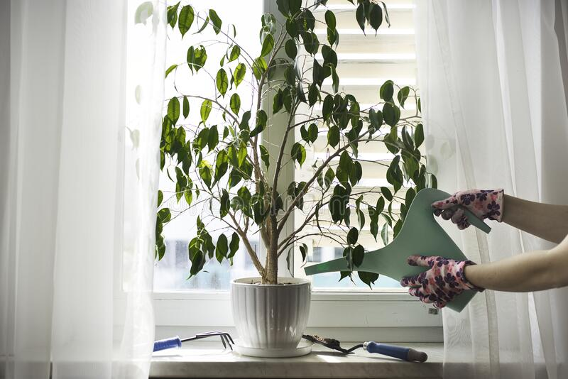 Watering plant on the windowsill royalty free stock photo
