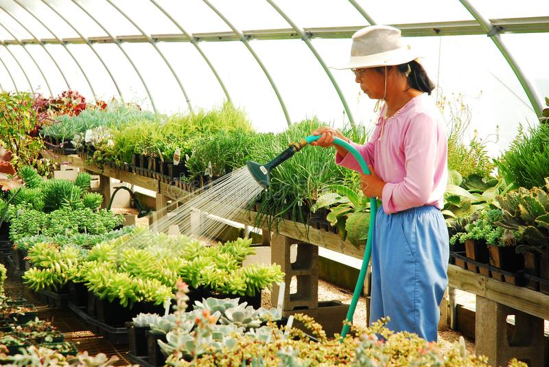 Watering the plants in a greenhosue stock image