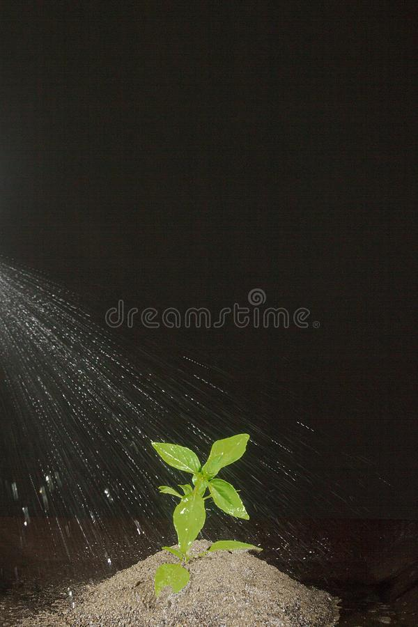 Watering the plants in the ground. Watering a green plant in the ground stock photo