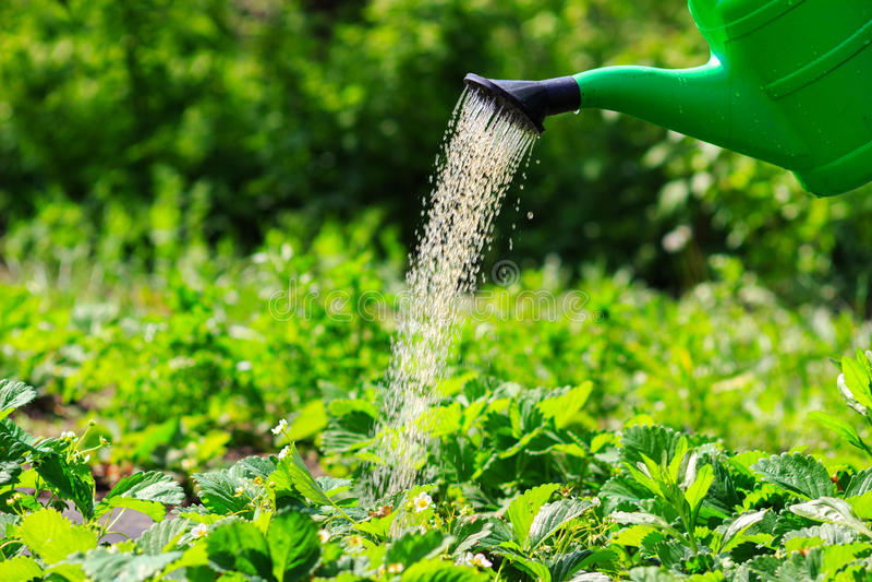 Watering plants, strawberries in the garden. spring outdoors. Watering the plants, strawberries in the garden. spring outdoors royalty free stock image