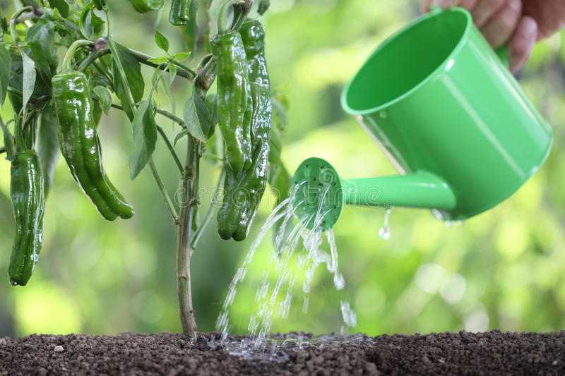 Watering plants with watering can. green peppers in vegetable ga royalty free stock image