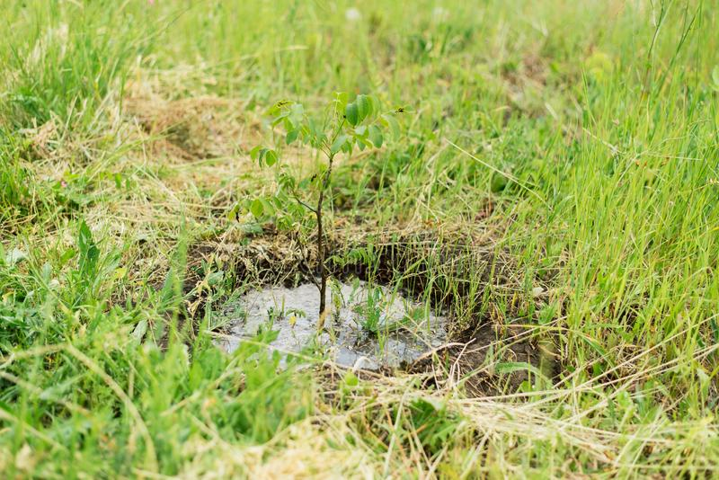 Watering a small tree from a hose. a farmer grows a garden. Watering a small tree from a hose. a small tree is flooded with water. a farmer grows a garden royalty free stock photo