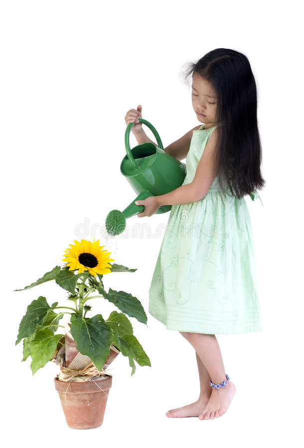 Download Watering the sunflower stock image. Image of asian, hobby - 3024875