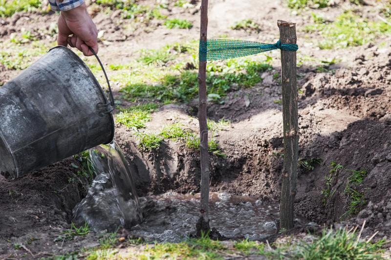 Watering tree seedlings after planting. Watering fruit tree seedlings after planting into soil, gardening step by step guide royalty free stock photography