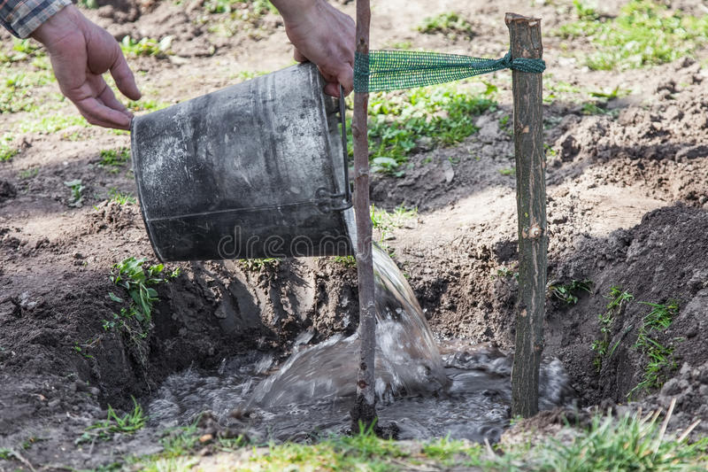 Watering tree seedlings after planting. Watering fruit tree seedlings after planting into soil, gardening step by step guide royalty free stock photos