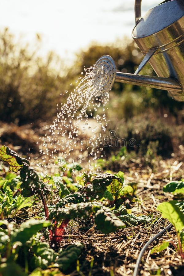 Watering vegetables with sprinkling can on farm. Farmer giving water to the crops with watering can royalty free stock photo