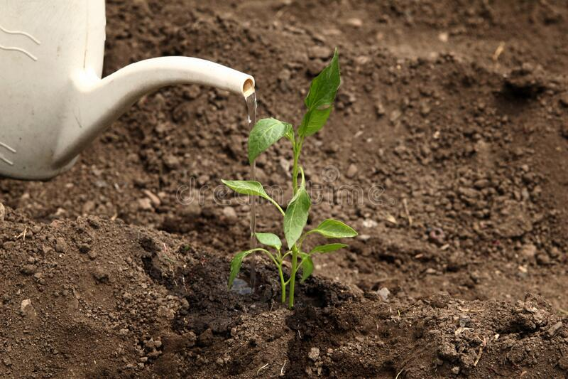 Watering with a watering can of a young plant of pepper in the ground. Planting pepper seedlings. Plant paprika seedling stock photos
