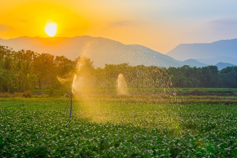 Watering young green corn field in the agricultural garden by water springer and light shines sunset. royalty free stock image