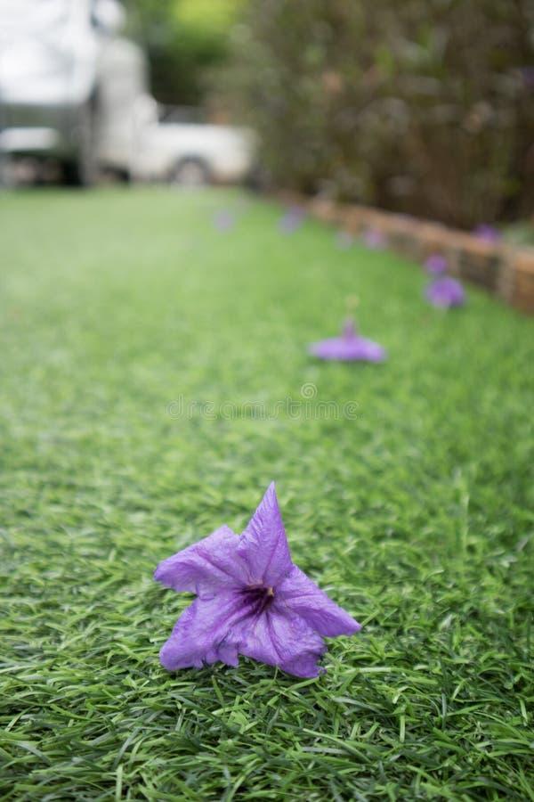 Waterkanon purple flower on artificial grass royalty free stock photos