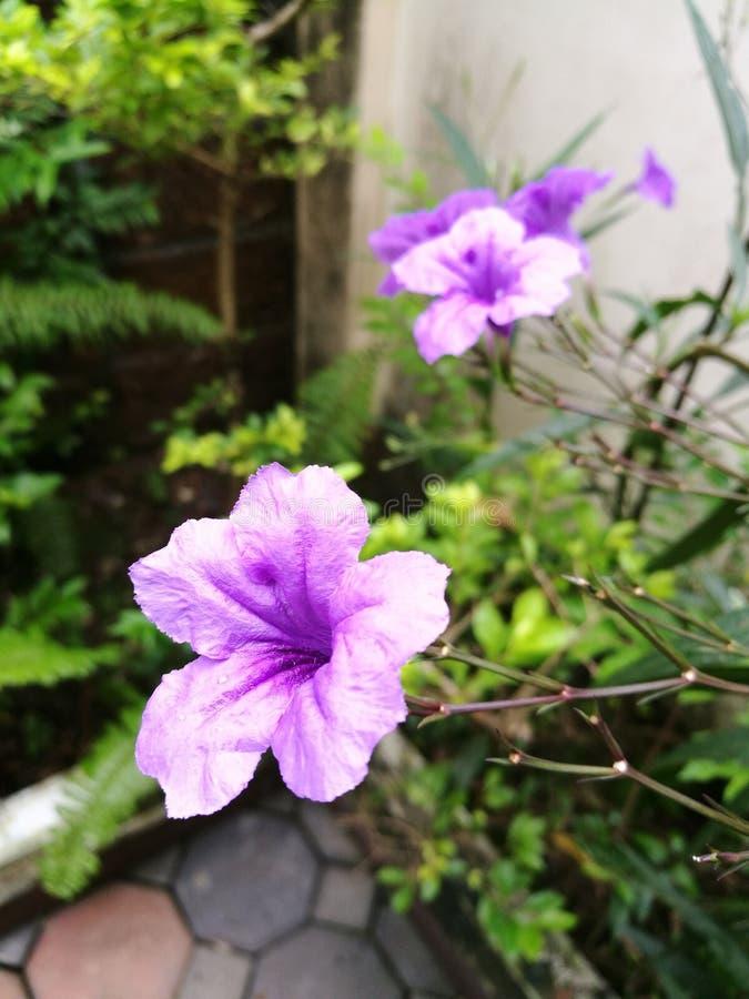 Waterkanon, purple flower closeup royalty free stock image