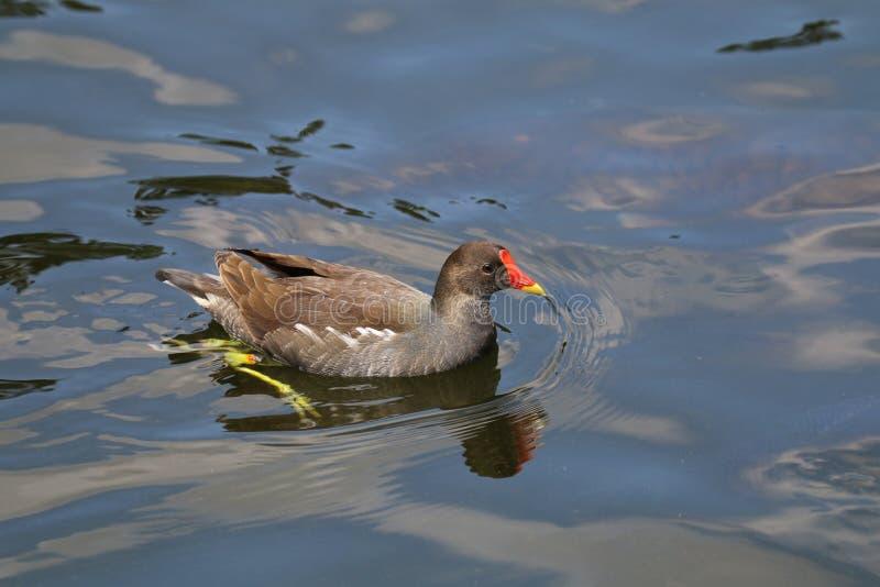 Waterkip stock fotografie