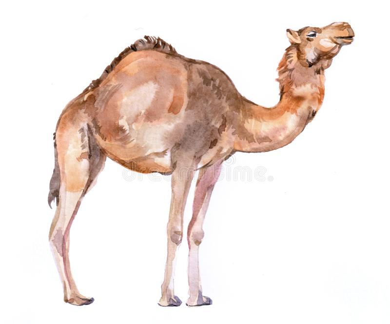 Waterkleur-realistisch kamelenwoestijndier geïsoleerd stock illustratie
