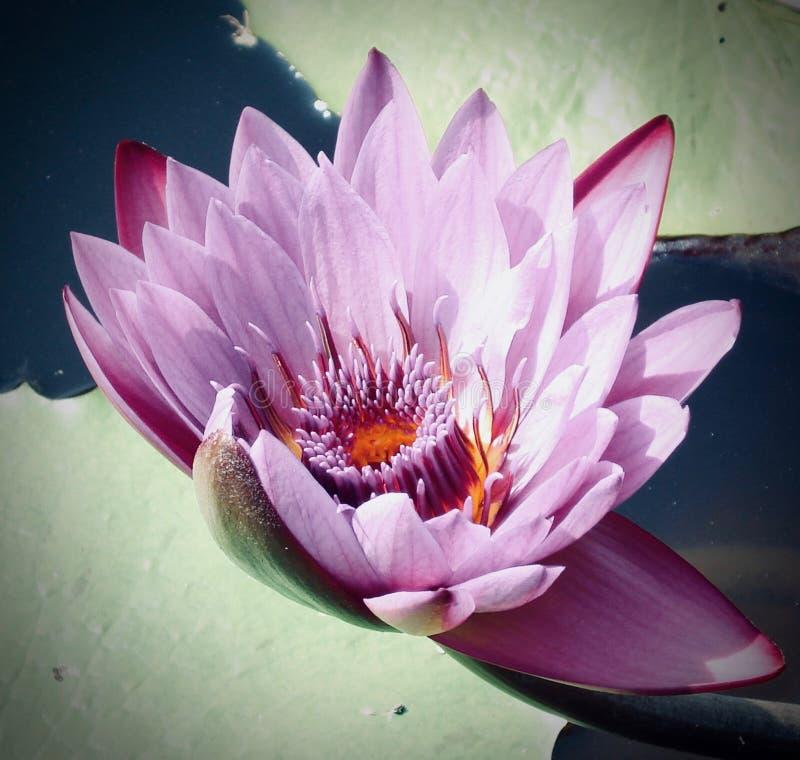 Waterlelie 'Nymphaeaceae ' royalty-vrije stock afbeeldingen