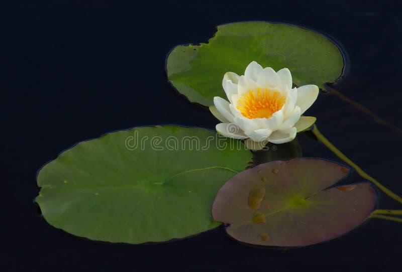 Waterlelie Stock Fotografie