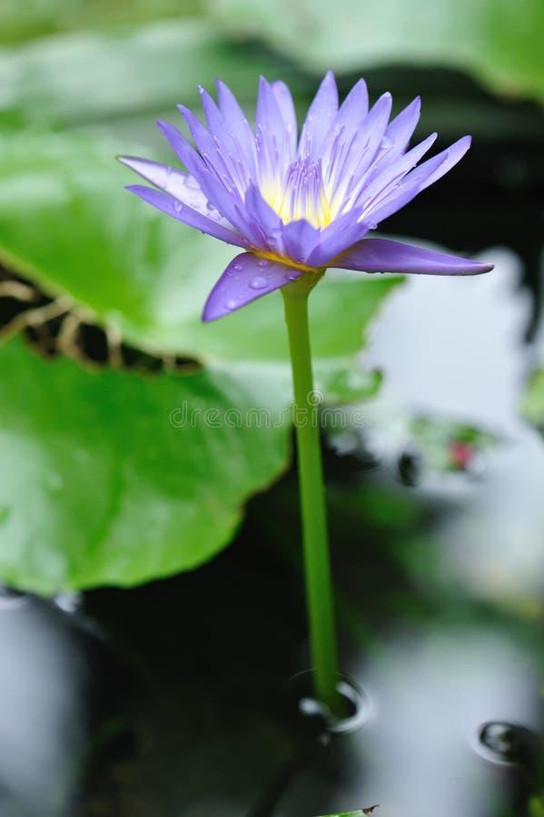 Waterlelie royalty-vrije stock afbeeldingen