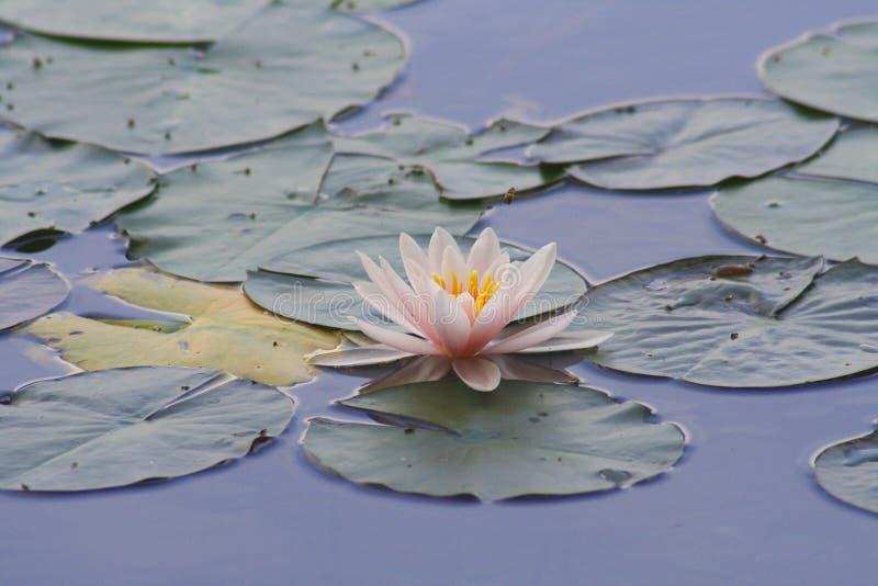 Waterlelie stock foto