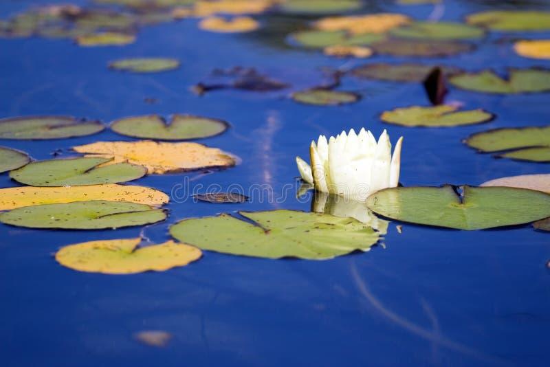 Waterlelie royalty-vrije stock foto's