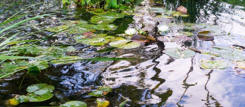 Waterlelie in de bosvijver Achtergrond, aard royalty-vrije stock afbeelding