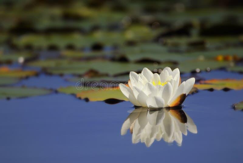 Waterlelie die water overdenkt royalty-vrije stock afbeeldingen