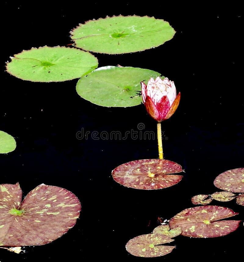 Waterlelie #1 stock afbeeldingen