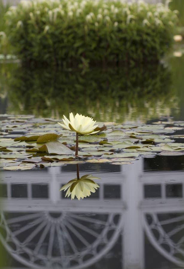 Waterlelie in een vijver stock fotografie