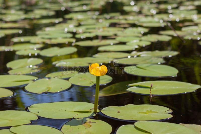 Waterlelie in het meer royalty-vrije stock afbeelding