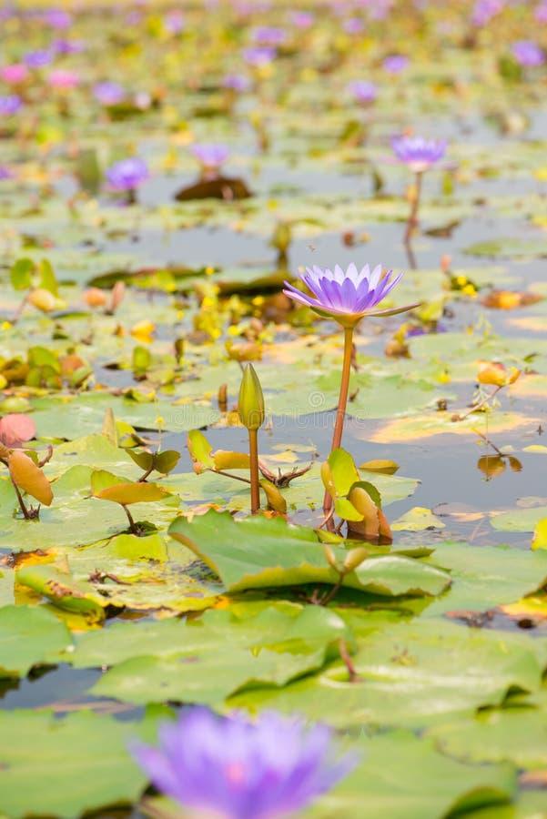 Waterlelie, Lotus of Waterlily-bloem in pool royalty-vrije stock foto's